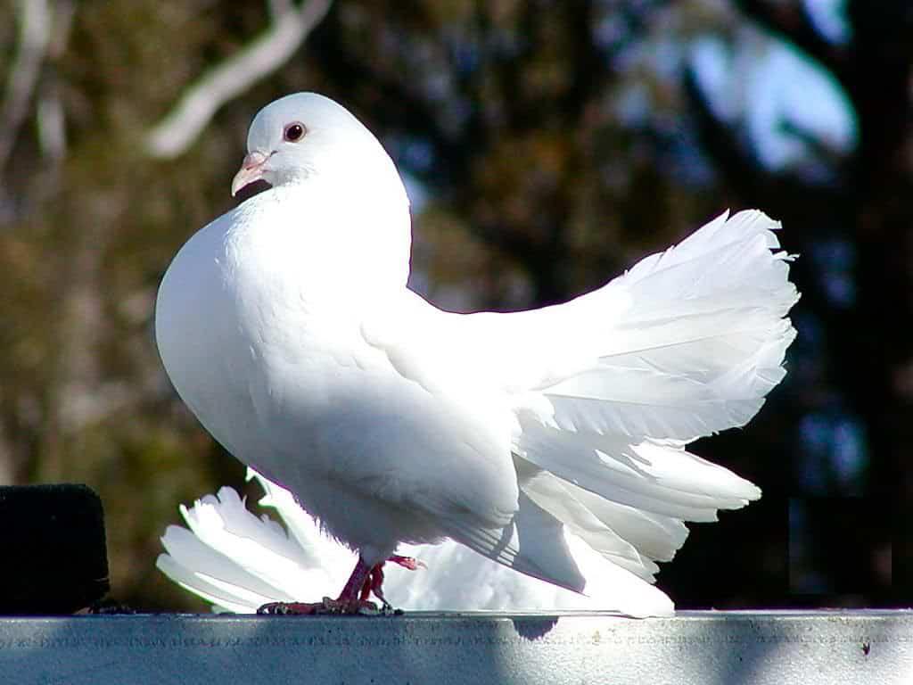 Posta Güvercinleri Yollarını Nasıl Bulur?