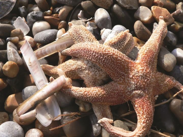 Deniz Yıldızı Kopan Kolunu Nasıl Yeniler?