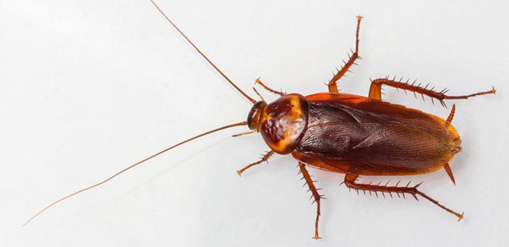 Çamaşır Suyu Hamam Böceğini Öldürür mü?