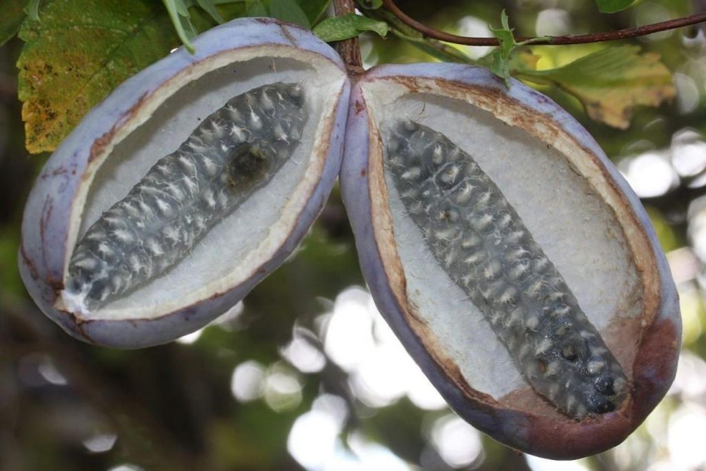 Akebia Meyvesi (Çikolata Sarmaşığı) Nedir?
