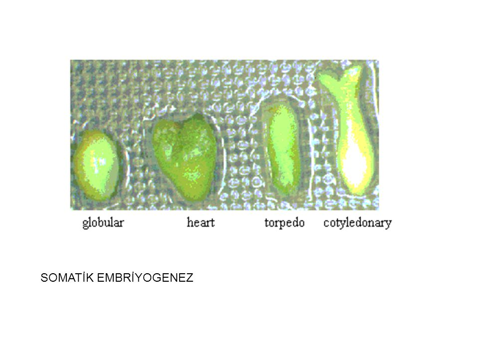Somotik Embriyogenez Nedir ?